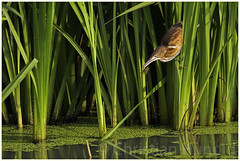 a not so itsy bitsy spider (Christian Hunold) Tags: leastbittern bittern heron wadingbird bird amerikanischezwergdommel johnheinznwr philadelphia cattails wetland christianhunold