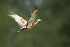 Sandhill Crane (Peter Stahl Photography) Tags: sandhill sandhillcrane crane athabasca alberta bird