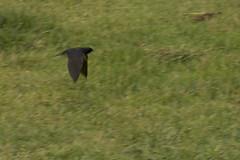 05 Un pjaro (Photo Sonntags) Tags: bird haiku zaragoza pjaro lvm vuelorasante parquedeltojorge juegolvm