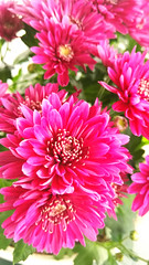 (Virety) Tags: flower floral nature beautiful outdoor pink petal green