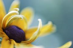 Reach (Rosemary Danielis) Tags: flowers rudbeckia yellow sky blue petals plants nature macrophotography