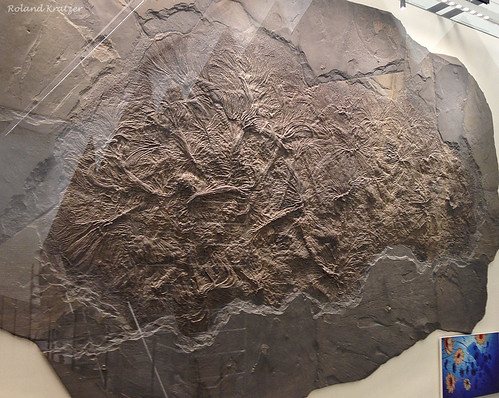 Pentacrinites dichotomus McCoy