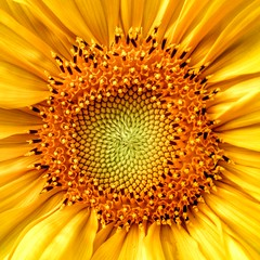 Helianthus ( .) Tags:  hdr