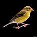 American Goldfinch male - Chardonneret jaune mâle