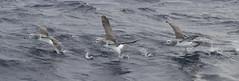 Shy Albatross (boombana) Tags: shyalbatross albatross sydney sydneypelagic 2016 thalassarchecauta thalassarche