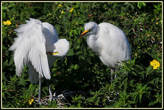 """""""Come on, aren't you ready yet? It's time to go!"""" (natural wonders photography) Tags: smellywingpits greatwhiteegrets rookery nesting florida naturalwondersphotography lookingforsomething nature birds ardeaalba nationalaudubonsociety"""