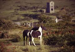 Ponies on Bodmin Moor (Trm-photography.com) Tags: ponies horses moor bodmin canon 5dmk2 70200mmf28 cornwall