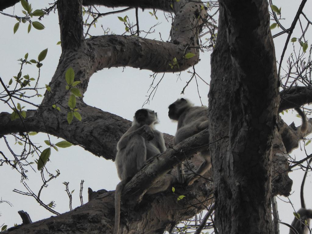 Monkeys chatting