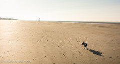 """Small Dog, Big Beach: """"West Wittering Beach"""" """"West Sussex"""" (Mr Whites Paw Prints) Tags: dog westsussex jackrussell nibbler westwitteringbeach"""
