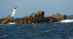 Northern Gannet (fredericpecheux) Tags: mer nature bretagne perros fou bassan oiseaux