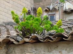 Aeonium arboreum , NGID2025929518 (naturgucker.de) Tags: mallorca alcdia aeoniumarboreum naturguckerde cjrgengehnen ngid2025929518