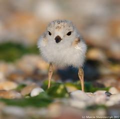 "Eye to eye (v4vodka) Tags: cute bird nature animal soft wildlife birding fluffy chick downy birdwatching plover shorebird sieweczka ""newyork"" ""longisland"" siewka ""pipingploverchick"" ""pipingplover"" ""sieweczkablada"" ""charadriusmelodius"" ""stonybrook"""