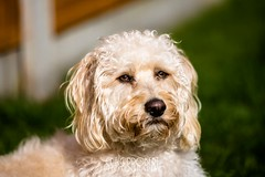 Humphrey (Craig.Probert) Tags: portrait dog pet animal nikon photographer craig humphrey cockerpoo crossbreed d610 probert 70200f28vrii craigprobert craigprobertphotography