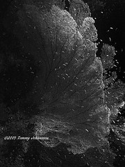 Gorgonian (tommyajohansson) Tags: blackandwhite blancoynegro monochrome coral geotagged underwater redsea egypt sharmelsheikh diving scubadiving gypten corals sinai dykning egypte egypten coralreef taucher tauchen underwaterphotography blancetnoir rotesmeer korall svartvitt plongeur misr merrouge buzo plonger bucear schwarzundweiss underwaterwonderland koraller rdahavet tommyajohansson korallrev undervattenfotografering undervattenfoton
