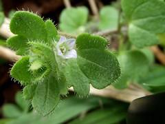 DSCF5705 (menchuela) Tags: floresblancas floressilvestres ivyleavedspeedwell whiteflowers wildflowers veronicahederiflora veronicahederifolia menchuela british flora britishflora