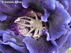 details of a flower (pinkystar_84) Tags: flower colours purple details violet dettagli fiore sfondonatura sfondofiori