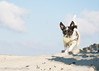 """""""Sand Dune Queen"""" """"West Wittering"""" """"West Sussex"""" (Mr Whites Paw Prints) Tags: westsussex jackrussell westwittering nibbler sanddunequeen"""