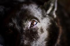 Luna (julietacarrillo8) Tags: dog ojo luna perro lobo mirada negra