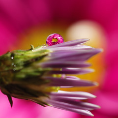 Pink flower refraction (craftyalliekat) Tags: pink flower macro reflection closeup nikon purple drop refraction droplet d80
