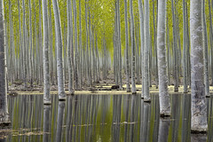 Tree Farm (Curtis Gregory Perry) Tags: reflection tree water forest paper nikon farm lumber d800e