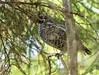 Pyy (Tetrastes bonasia) ♂, Hazel grouse (pohjoma) Tags: bird lintu pyy hazelgrouse canonef100400mmf4556lisusm tetrastesbonasia canoneos5dmarkiii