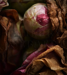 Caresse moi ! (thierry.ysebaert) Tags: life roses colors rose closeup photoshop decay roos wilted goodbye camellia edith rozen thierry tarnish ruined deterioration verval beautifuldecay ravage beautyindecay photoofarose wiltedroses flowerphoto ysebaert artisticedit thierryysebaert flowerindecay ysebaertthierry exquisitedecay rozenfotografie fotovaneenroos eroticdecay roseindecay