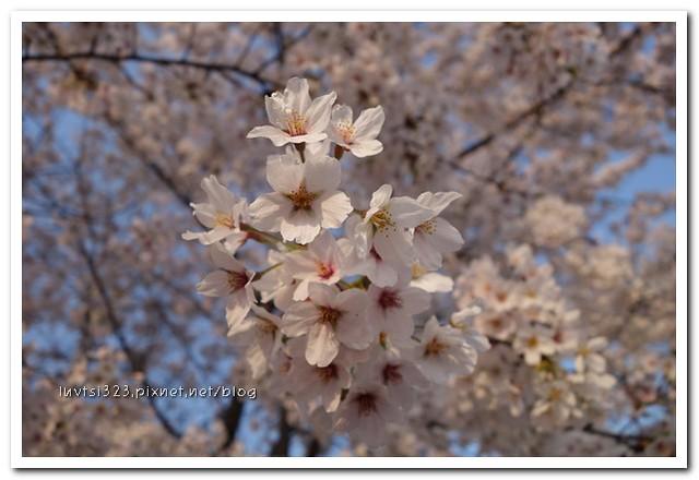 양재천벚꽃18