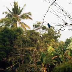Kingfisher 25 Dec 2014 (J Whigham) Tags: india birds animals asia kerala coconutlagoonhotel