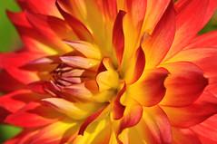 flower power (nirak68) Tags: dahlia rot deutschland gelb juli asteraceae ger georgine dahlie eutin korbbltler 191366 freitagsblmchen schleswigholsteinkreisostholstein lgs2016 2016ckarinslinsede landesgartenschaueutin substategardenshow