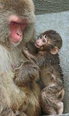 japanese macaque artis JN6A3085 (j.a.kok) Tags: artis macaque japanesemacaque makaak japansemakaak