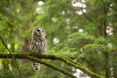 Owl in Forest Park (Richtpt (Rich Uchytil)) Tags: trees green oregon portland us unitedstates hiking pdx owls forestpark 2016