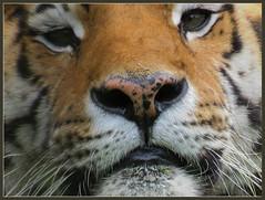016071 2016 1 Juli Tiger Eyes C (Ria en Reinier) Tags: pet cats cat zoo katten bigcats wildcats dierentuin eltigre amurtiger wildekat beautifulcats bengaalsetijger tigertijger grotekatten carnivoremammal