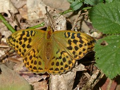 Silver-washed Fritillary (ukstormchaser (A.k.a The Bug Whisperer)) Tags: uk sunlight macro leaves animals insect fly leaf wildlife butterflies july insects ground flies fritillaries fritillary basking silverwashed