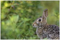bunny (Christian Hunold) Tags: rabbit bunny philadelphia animal mammal wildlife johnheinznwr easterncottontail christianhunold