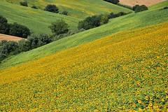 Sinfonia gialloverde (luporosso) Tags: natura nature naturaleza naturalmente nikond300s nikon colline collina hill hills girasole girasoli sunflower sunflowers scorcio scorci allaperto country countryside marche italia italy
