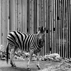 only stripes (by Andy) Tags: 2016 d50 bw square dhk zebra