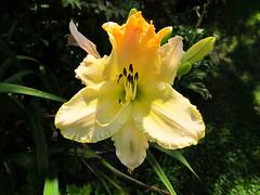 Flowers - (PL) Liliowiec (transport131) Tags: liliowiec lily garden hemerocallis ogrd kwiat flower