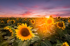 Sunflowers (Dg.63) Tags: sunflowers sunset sky summer sun soleil canon canonfrance color campagne clouds couleur 6d 1635 1635mm orange eos france field fullframe auvergne agriculture amazingamateur nature light landscape yellow