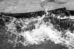 splish splash (ohnede) Tags: tiger water splash action bw blur