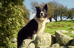 Proud Indy (Mike & Indy) Tags: dog pet dogs indy explore bordercollie northwales llanfairfechan