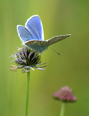Common Blue butterfly (Jaedde & Sis) Tags: blåfugl commonblue polyommatusicarus butterfly høvblege møn flower dof challengefactorywinner unanimous thechallengefactory challengegamewinner perpetualwinner herowinner matchpointwinner mpt503 flickrchallengewinner flickrchallengegroup 15challengeswinner storybookwinner gamewinner gamex2