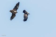 Gypate barbu agaant un vautour (sfrancois73) Tags: oiseau faune vautour gypatebarbu