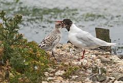 Med Gull Feeding Chick (Gary Hickson Photography L.R.P.S.) Tags: brownseaisland terns mediterranean gull chick nature wildlife dorset