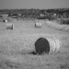 The harvesting of hay. (Capturedbyhunter) Tags: portugal landscape 1 focus close pentax bokeh outdoor santarm fernando 28 manual hay 135 marques vivitar 135mm feno k1 foco ribatejo coruche focusing caador agolada focagem fajarda