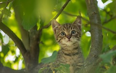 kittens (14) (Vlado Fereni) Tags: cats animals kitty croatia kittens catsdogs animalplanet hrvatska hrvatskozagorje nikkor8020028 zagorje nikond600