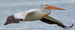 Pelican Flies Low (dcstep) Tags: englewood colorado unitedstates us y6a6114dxo cherrycreekstatepark canon7dmkii ef500mmf4lisii ef14xtciii allrightsreserved copyright2016davidcstephens dxoopticspro11 nature lake reservoir cherrycreekreservoir pelican americanwhitepelican flight flying bif birdinflight