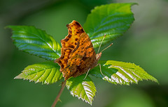 DSC3398 Comma.. (jefflack Wildlife&Nature) Tags: comma butterflies lepidoptera insect insects wildlife glades countryside heathland moorland hedgerows