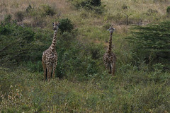 Giraffe in Lush Valley (paulinuk99999 (lback to photography at last!)) Tags: paulinuk99999 nairobinationalpark kenya wildlife sal70400g giraffe lush valley trees