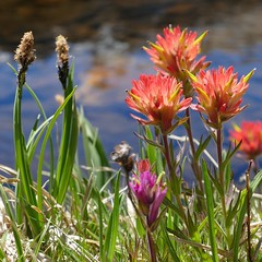 Castilleja miniata, GIANT RED PAINTBRUSH (openspacer) Tags: inyocounty inyonationalforest