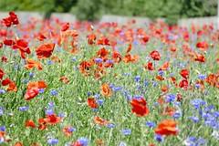 Poppies and Cornflowers (RedCat09) Tags: poppies cornflowers wildflowers wareham dorset